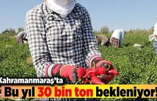 Kahramanmaraş'ta bu yıl 30 bin ton bekleniyor!