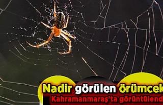 Nadir görülen örümcek Kahramanmaraş'ta görüntülendi
