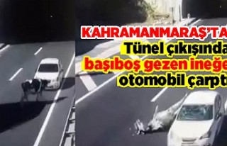 Tünel çıkışında başıboş gezen ineğe otomobil...