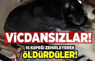 Vicdansızlar! 16 köpeği zehirleyerek öldürdüler!