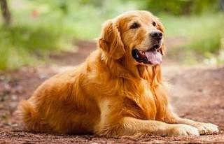 Köpeklerde Eğitime Başlama Yaşı Kaç Olmalı?