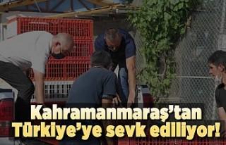 Türkiye'nin kınalı keklik popülasyonunu Kahramanmaraş...