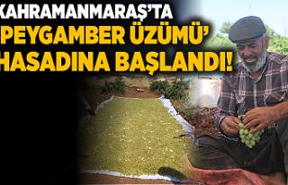 Kahramanmaraş'ta 'peygamber üzümü' hasadına...
