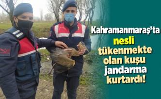 Kahramanmaraş'ta nesli tükenmekte olan kuşu jandarma kurtardı!