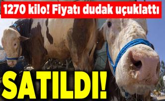 1270 kiloluk kurbanlık 'Polat' satıldı! Değeri dudak uçuklattı