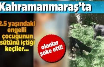 Kahramanmaraş'ta 2.5 yaşındaki engelli çocuğunun sütünü içtiği keçiler...
