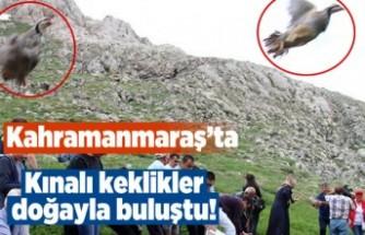 Kahramanmaraş'ta kınalı keklikler doğayla buluştu!