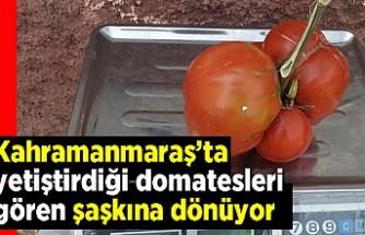 Kahramanmaraş'ta yetiştirdiği domatesleri gören şaşkına dönüyor