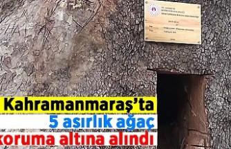 Kahramanmaraş'ta 5 asırlık ağaç koruma altına alındı!