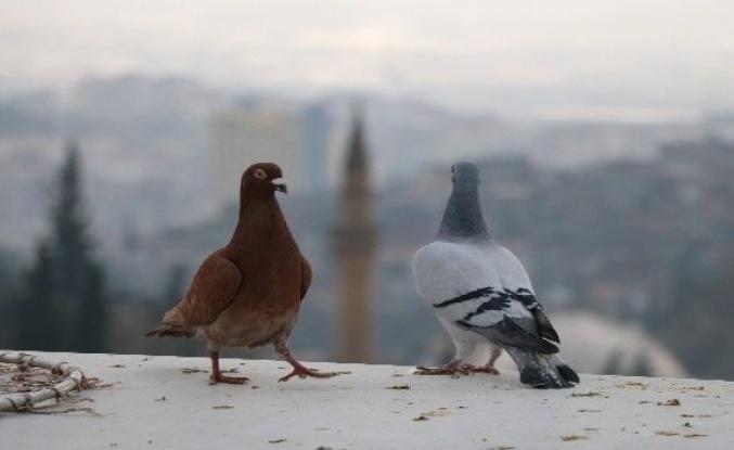 Güvercinlerine gözü gibi bakıyor